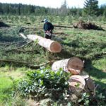 Figure 3. Logging the Olympic Resource Management Hood Canal Seed Orchard, March 2005.